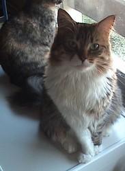 Pouille Pouille, chat Maine Coon