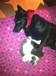 Lilo, chien Labrador Retriever