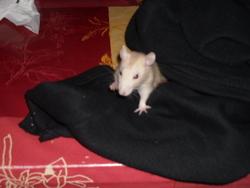 Phénix, rongeur Rat