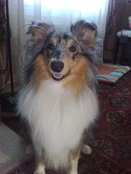 Elit Blue, chien Berger des Shetland