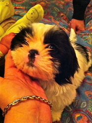Charli, chien Lhassa Apso