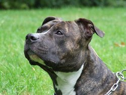 Blaize, chien American Staffordshire Terrier