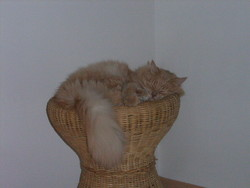 Caramel Dit Calamar, chat Européen
