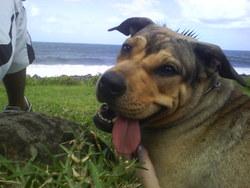 Saya974, chien Dogue de Majorque