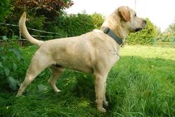 Titus, chien Labrador Retriever