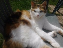 Pichoune, chat Persan