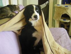 Dixie, chien Border Collie