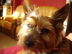 Dicky, chien Yorkshire Terrier