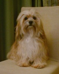 Roslyn, chien Bichon havanais