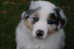 Fanel, chien Berger australien