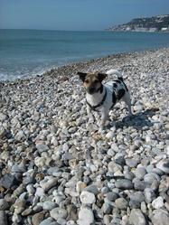 Boheme, chien Jack Russell Terrier