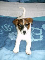 Elko, chien Jack Russell Terrier