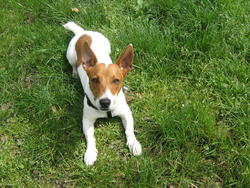 Looping, chien Jack Russell Terrier