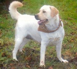 Sava, chien Labrador Retriever