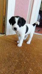 Doug, chien