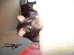 Luckyie, rongeur Rat