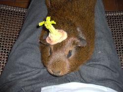 Casimir, rongeur Cochon d'Inde