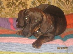 Féline, chien Teckel