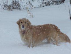 Malice, chien Golden Retriever