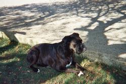 Kynda, chien Boxer