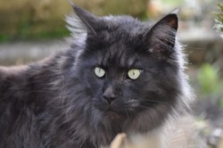 Carbone, chat Maine Coon