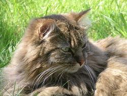 Vanie, chat Européen