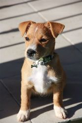 Kitty, chien Jack Russell Terrier