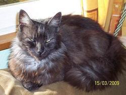 Léna, chat Angora turc
