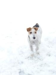Urbann, chien Fox-Terrier