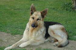 Fanny, chien Berger allemand