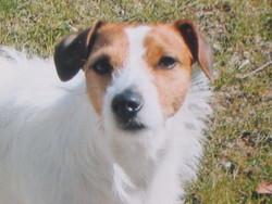Skeeper, chien Jack Russell Terrier