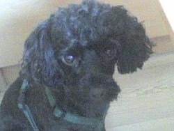 Tatoo, chien Caniche