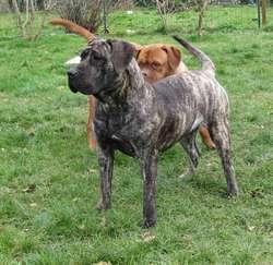 Diddlina, chien Dogo canario