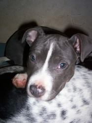 Djipsy, chien American Staffordshire Terrier