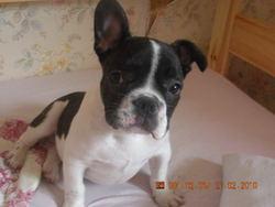 Boudha, chien Bouledogue français