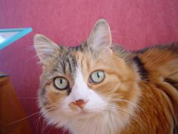Cannelle, chat Européen