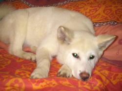 Keiko, chien Akita Inu