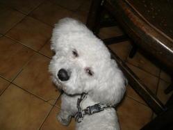 Yazou, chien Bichon à poil frisé