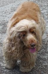 Perle, chien Cocker anglais
