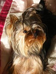 Allumette, chien Yorkshire Terrier