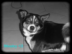 Mouky, chien Lévrier écossais