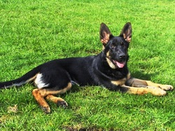 Eva, chien Berger allemand