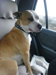 Caiz, chien American Staffordshire Terrier
