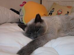 Galipette, chat Siamois