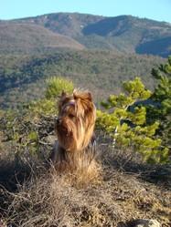 Biki, chien Yorkshire Terrier