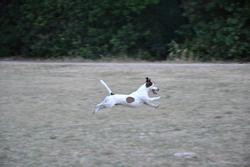 Ecko, chien Jack Russell Terrier