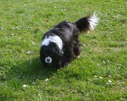 Bouille, chien Cavalier King Charles Spaniel