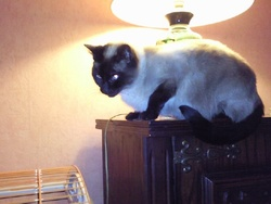 Crystal, chat Siamois