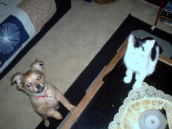 Lilou, chien Pinscher
