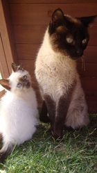 Ciboulette, chat Siamois